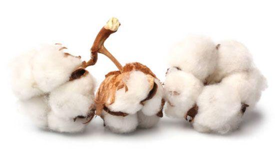Fleur de coton, un parfum subtil et délicat